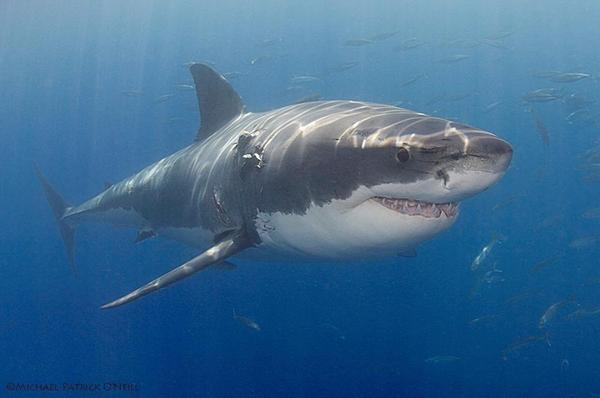 Jason Day and the great white are both Australian.